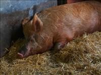 Thibault Godbillon, 75 - RESTING PIG FACE